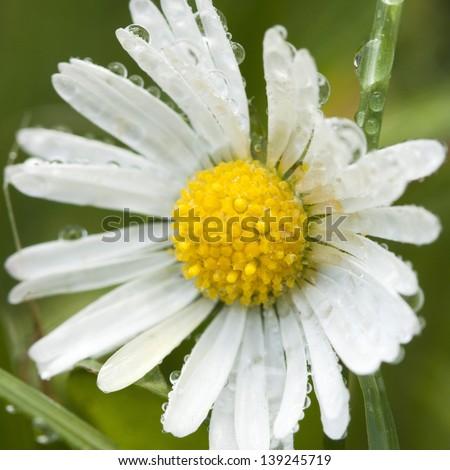 wild chamomile. selective focus. - stock photo