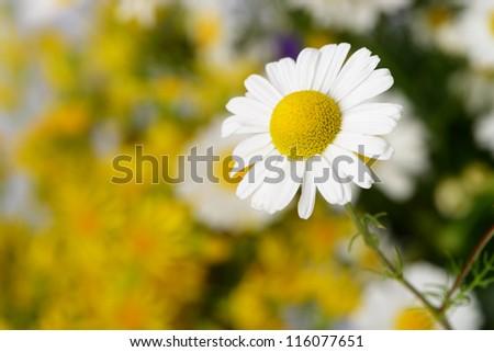 Wild chamomile. White flowers. Selective focus. Bokeh - stock photo