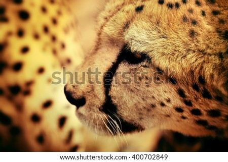 Wild Cheetah portrait In African Savannah, Namibia. Filtered image. Small depth of field - stock photo