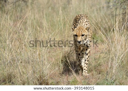 Wild Cheetah sneaks into the tall grass In African Savannah, Namibia - stock photo