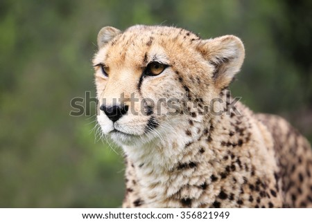 wild cheetah, South Africa. - stock photo