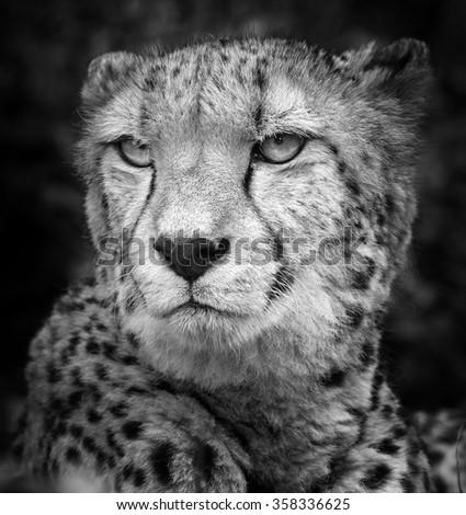 wild cheetah, South Africa. - stock photo