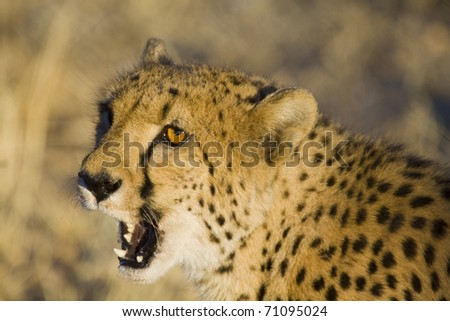 wild cheetah with open mouth in Namibia - stock photo