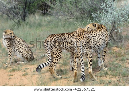 Wild Cheetahs In the African Savannah, Namibia - stock photo