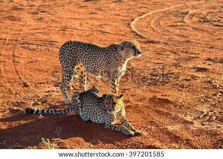 Wild Cheetahs In the Kalahari desert in sunset backlight. African Savannah, Namibia. Warm evening light - stock photo