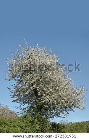 wild cherry in full blooming in spring - stock photo