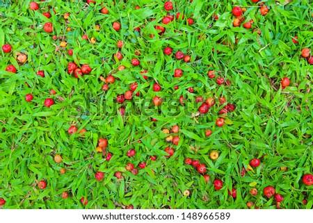 Wild cherry on Grass - stock photo
