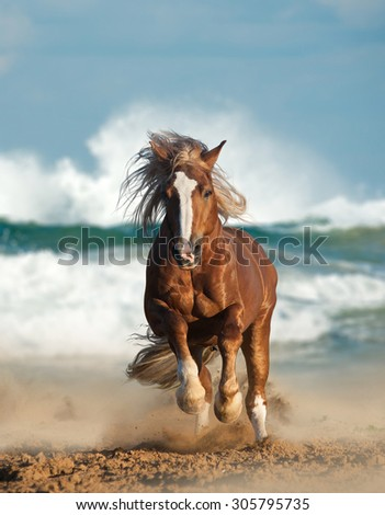 Wild chestnut draft horse running gallop by the sea