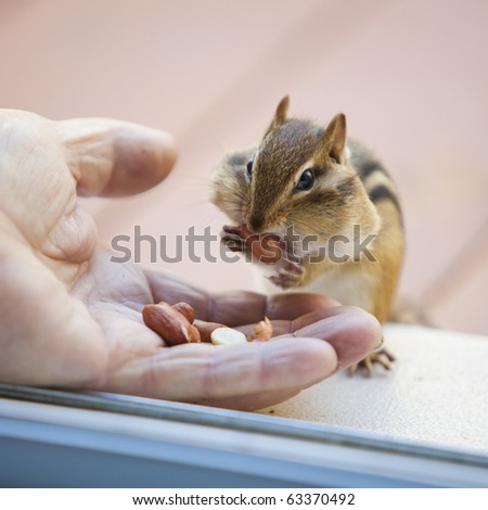 Wild chipmunk getting full from eating peanuts from a human hand. - stock photo