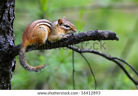 Wild chipmunk on an tree in the wood - stock photo