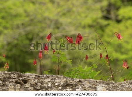 Wild columbine flowers growing on a bluff - stock photo