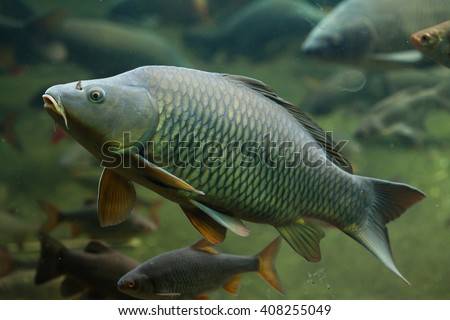 Wild common carp (Cyprinus carpio). Wild life animal.  - stock photo