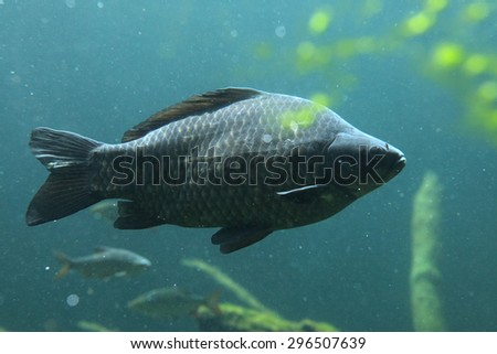 Wild common carp (Cyprinus carpio). Wildlife animal.  - stock photo
