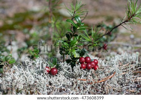 Wild cow-berry in the white moss