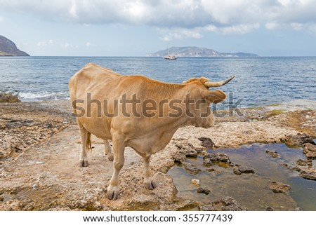 Wild cow - Dreaming the sea - stock photo