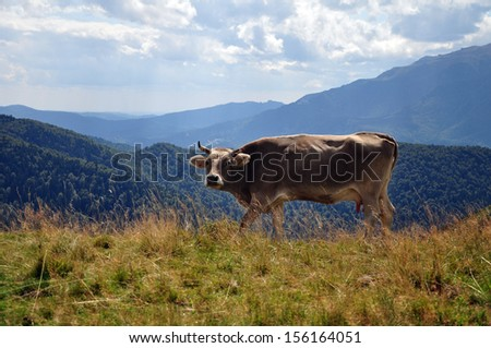 Wild cow in mountains