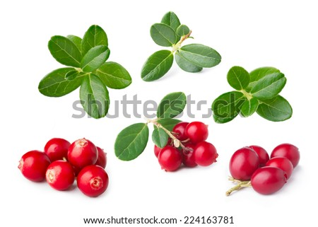 Wild cowberry with its leaves separated. Set of isolated parts of forest foxberry (Vaccínium vítis-idaéa) - stock photo