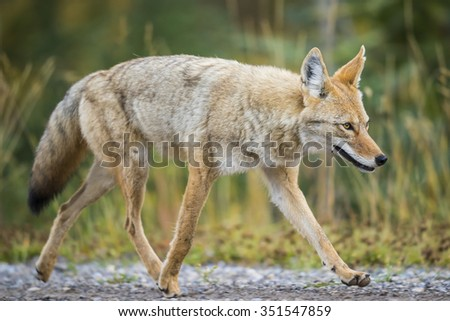 Wild Coyote hunting in a roadside meadow in the Rocky Mountains of Alberta Canada