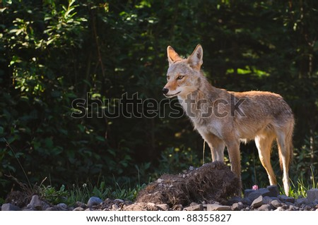 Wild Coyote in the mountains, Kananaskis country Alberta Canada - stock photo