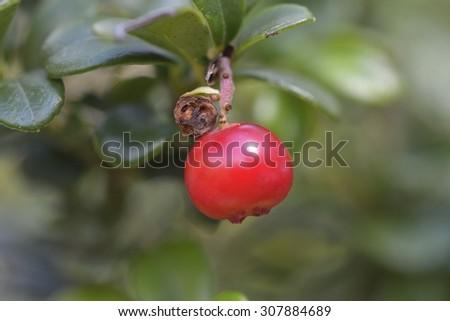 Wild cranberries - stock photo