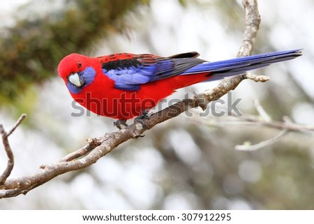 wild crimsom rosella in world heritage lamington national park