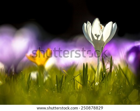 Wild crocus (Crocus tommasinianus) Blooming in a back lit field in the first sun rays in spring - stock photo