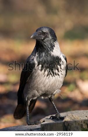Wild crow bird on the stump - stock photo