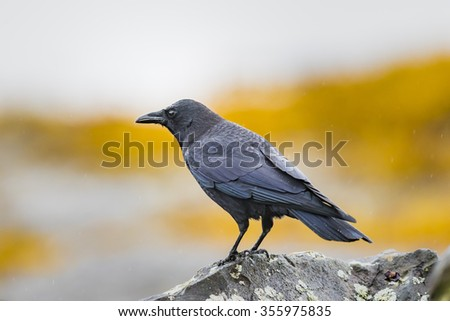Wild crow feeding on the beach at low tide - stock photo