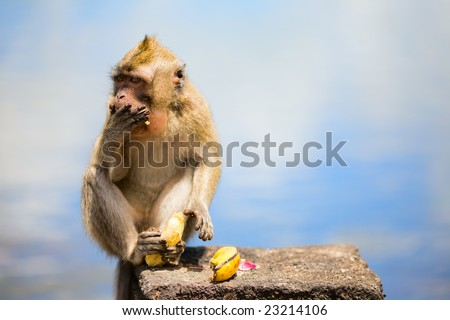 Wild cute little monkey eating banana - stock photo