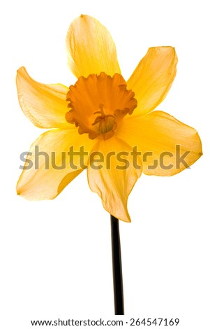 Wild Daffodil Lent Lily Isolated on White Background - stock photo