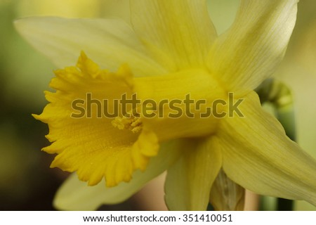 Wild Daffodil - Narcissus pseudonarcissusClose-up looking into trumpet showing anthers & stigma - stock photo