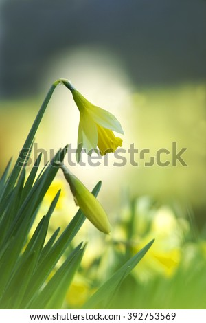 Wild Daffodil, Narcissus pseudonarcissus, selective focus and diffused background, St Cleer, Cornwall, England, UK - stock photo