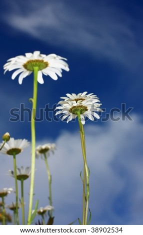 Wild daisies against a summer sky - stock photo