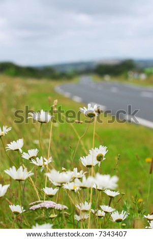 Wild daisies blooming on the side of a rural road in Brittany, France - stock photo