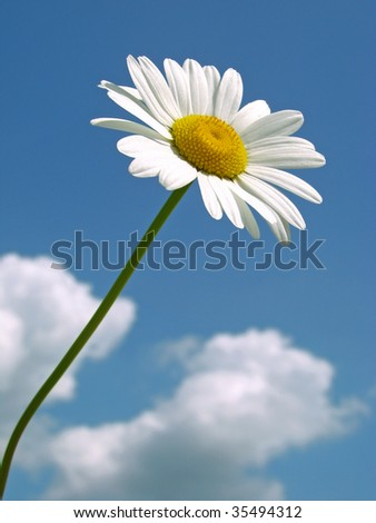 wild daisy against blue sky with light clouds