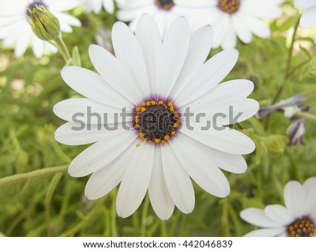 Wild daisy during spring time - stock photo