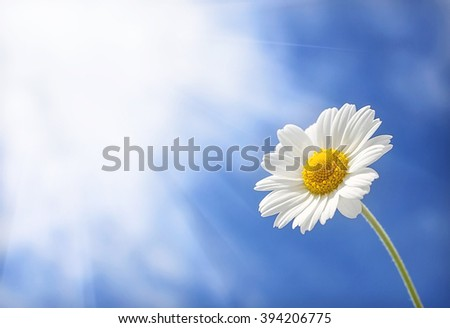 wild daisy flower, stretches towards the sun, against the background of the summer clouds. - stock photo