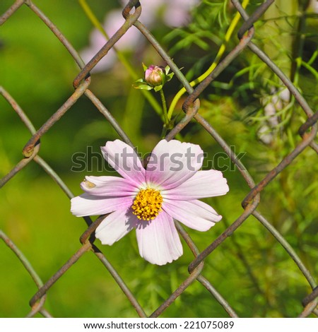 wild daisy growing through wire fence - stock photo