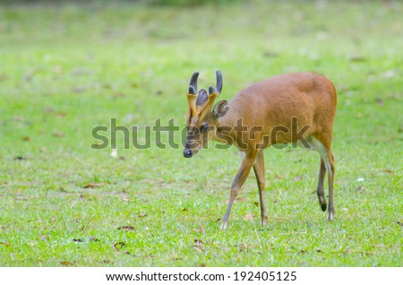 wild dear at natural site Khao Yai National Park, Thailand - stock photo