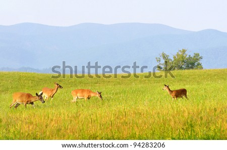 Wild deer at Cades Cove valley in the Great Smoky Mountains National Park in Tennessee. - stock photo