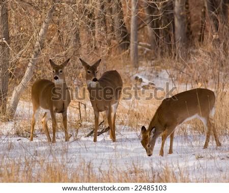 Wild deer in a Colorado winter - stock photo