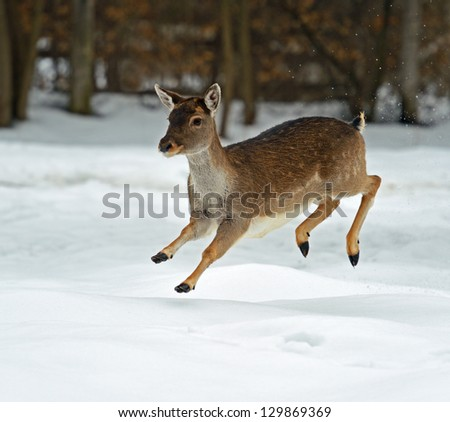 Wild deer runs along the edge of the forest - stock photo