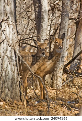 Wild deer standing in a Colorado forest - stock photo