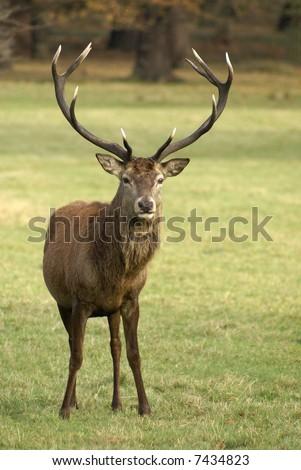 Wild deer stands facing the Camera - stock photo