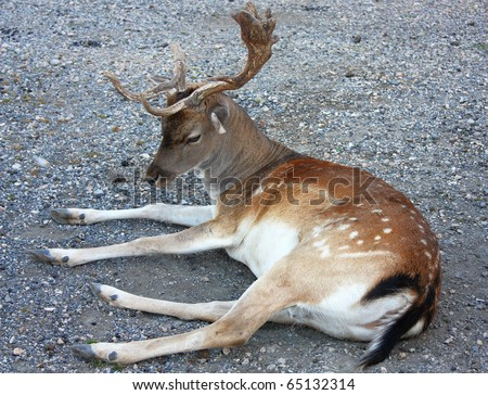 wild deer with two straight horn sits in the National park, Croatia - stock photo