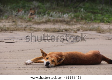 Wild dingo family on the beach of Fraser Island, Australia - stock photo