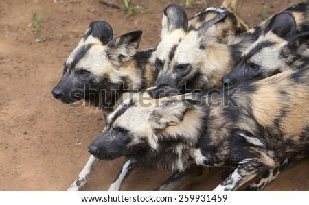 Wild dog - stock photo