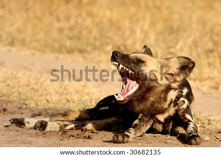 Wild dog in Sabi Sand game reserve, South Africa - stock photo