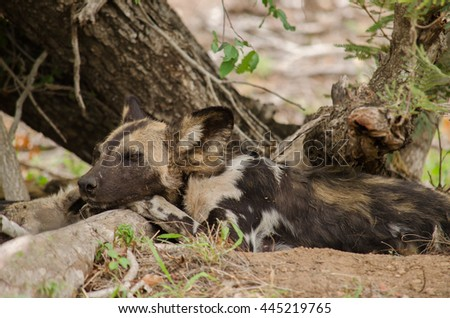 Wild dog pouting under a tree in the African bush - stock photo