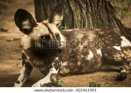 Wild dog resting - stock photo